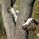 коза и котенок